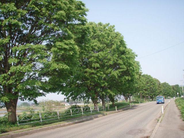 見事な欅の並木2