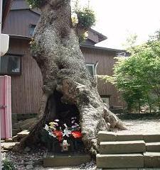 大きなタブの木