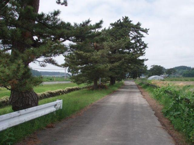 桧山の松並木2