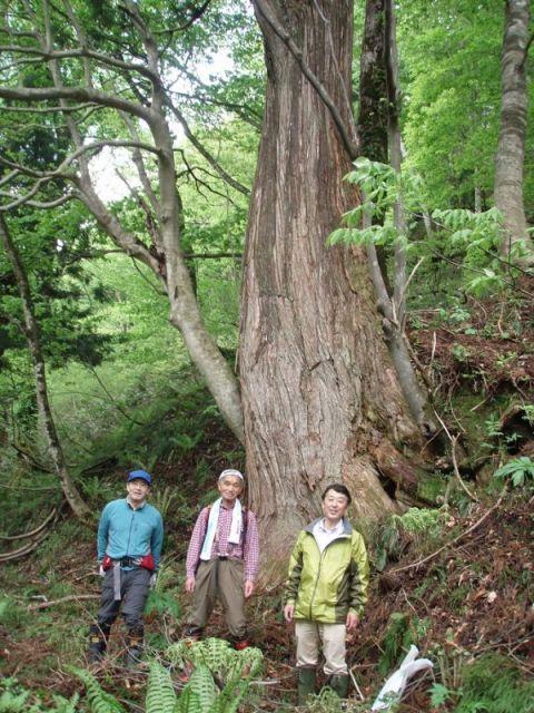 杉の巨木2